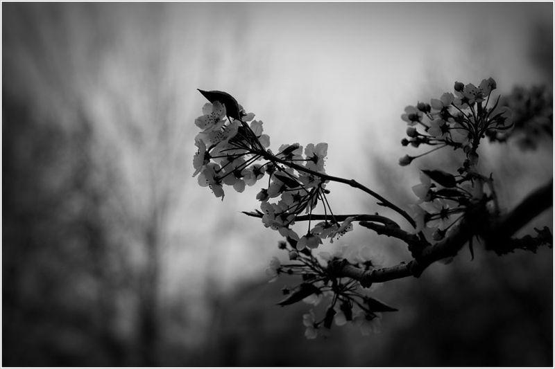 PearBlossom